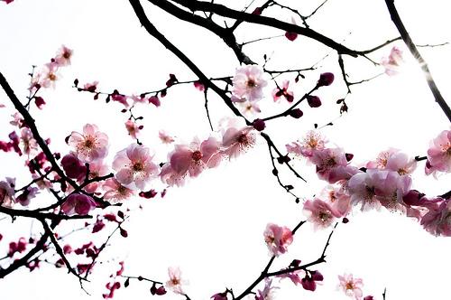 cerisier-japonais