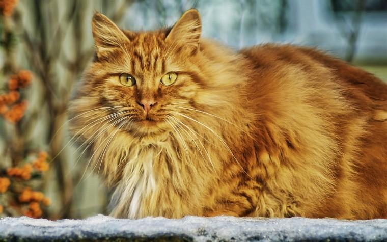 chat-roux