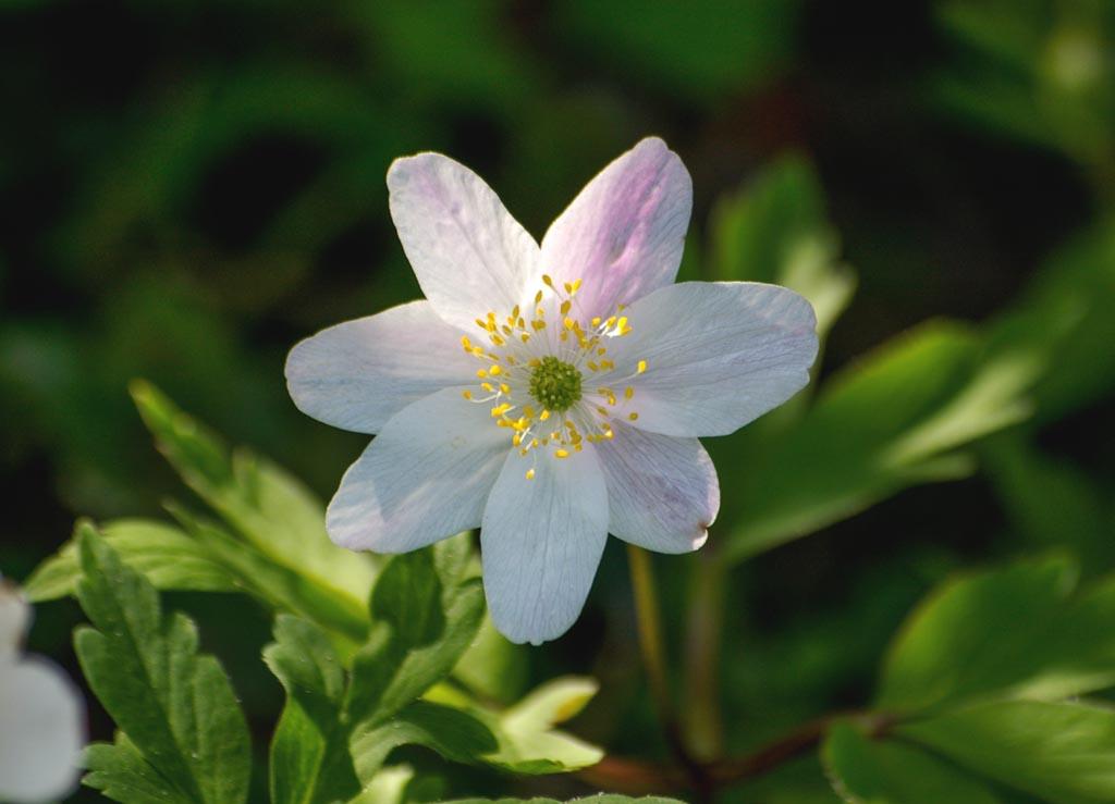 anemone-sylvie08