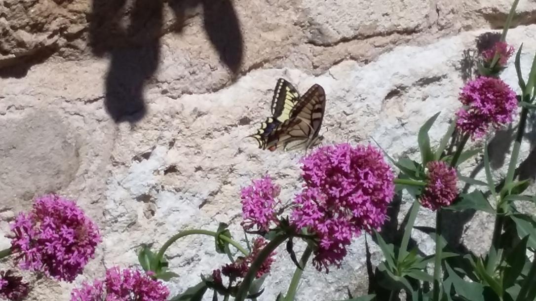 papillon Lubéron