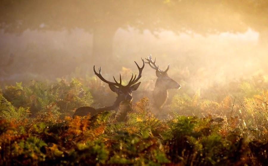 A couple of red deer teenagers wandering around in the misty bracken