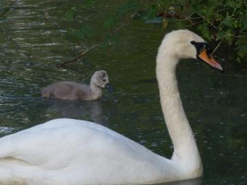 maman et un bébé cygne