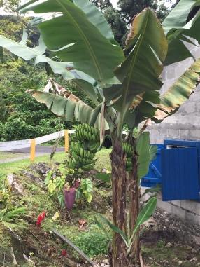 Gwada banane 2