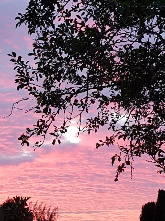 prunier jardin ciel rose