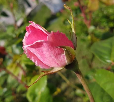 bouton rose