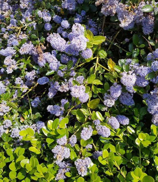 fleurs bleues2