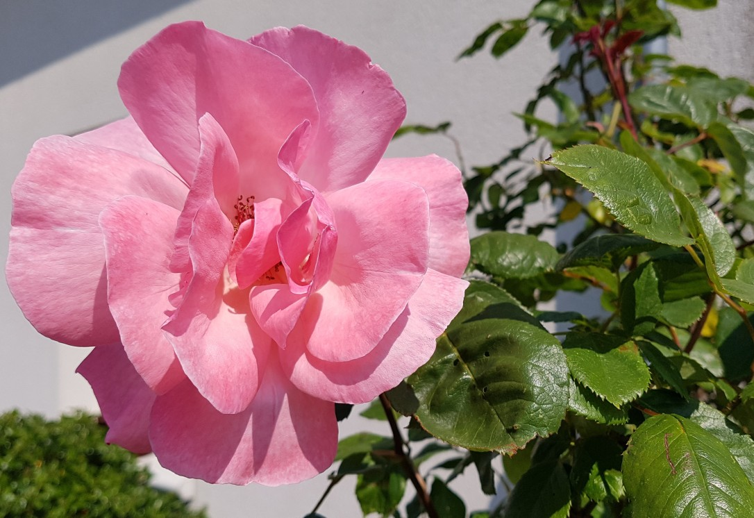 rose9