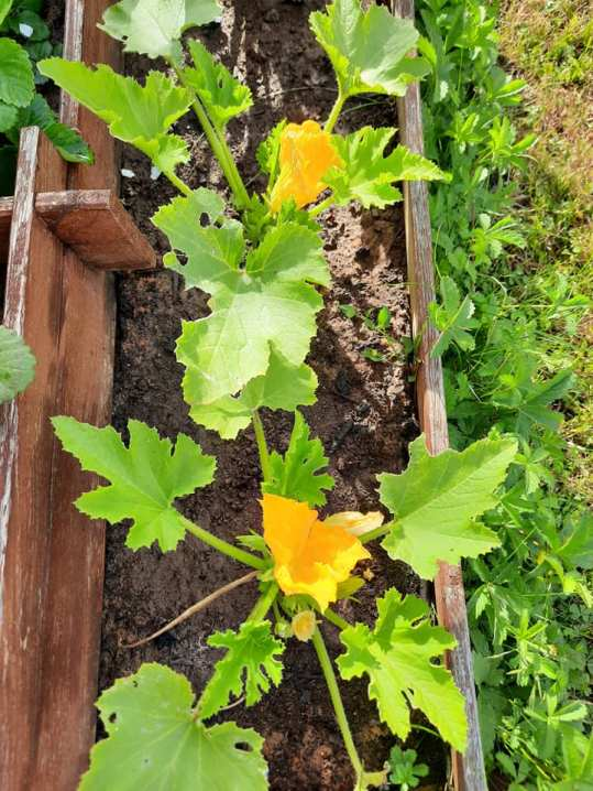 potager courgettes