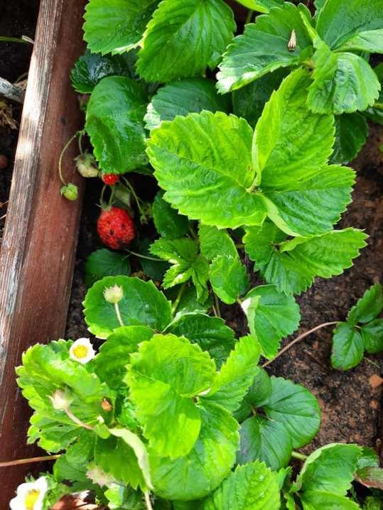 potager fraises
